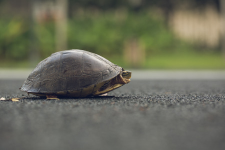 Turtle is shy inside shell on the floor, take head for looking someone. Animal abstract background. Stock Photo