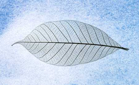 Close up on Leaf texture on blue lightbox background and selective focus. Abstract Background, Macro focus to show a detail structure of leaf. Stock Photo