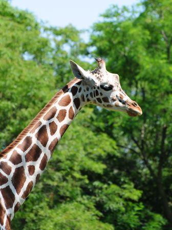 Giraffe walking near green trees Stock Photo