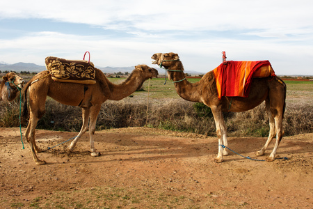 Pair of camels standing face to face