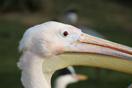 pelecanidae: A pelican head Stock Photo