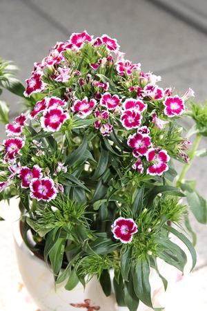 carnations: Flowering carnations