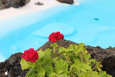 Flores rojas en los Jameos del Agua