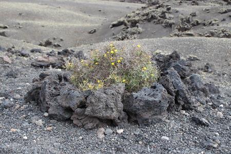 lanzarote: A yellow plant in Lanzarote