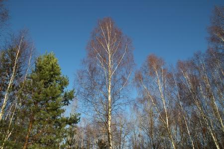 birches: Birches