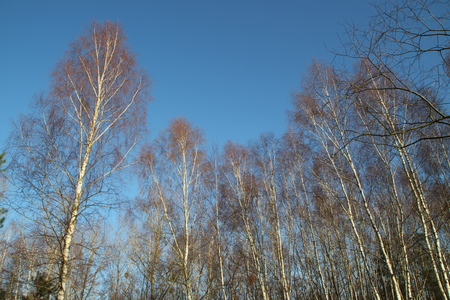Birken im Winter Standard-Bild - 50850140
