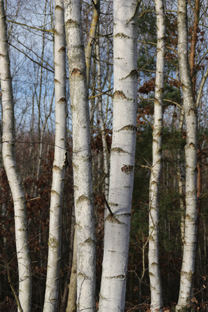 Birches in a forest
