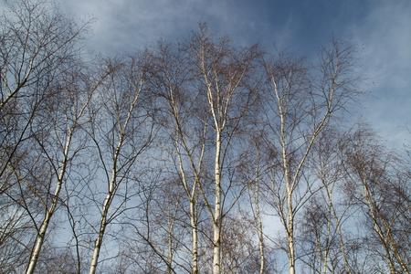 Birken in einem Wald Standard-Bild - 50850142