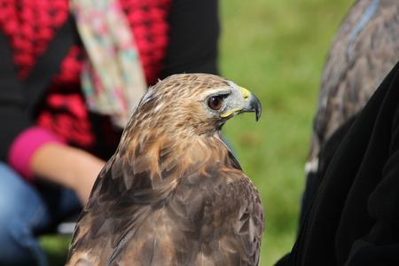 A hawk Stock Photo