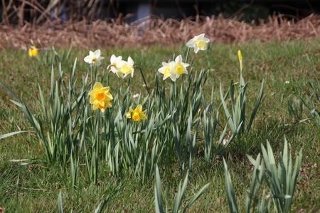Narzissen im Frühjahr Standard-Bild - 57205638
