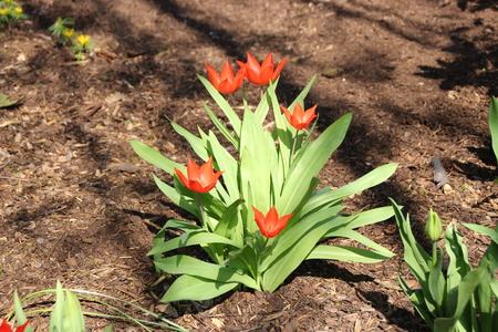 Rote Tulpen Standard-Bild - 57872483