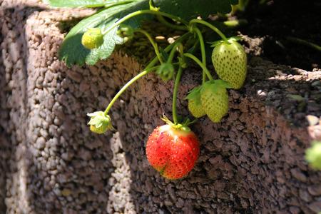 Erdbeeren Standard-Bild - 94107494