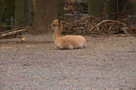 A young vicuna