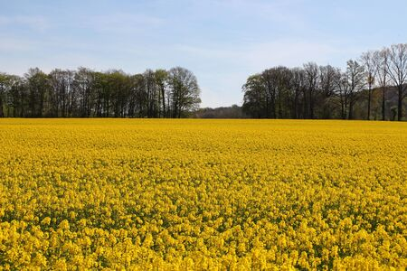 Rapeseed field in the sunshine