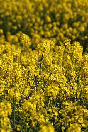 Rapeseed in the sunshine Stock Photo
