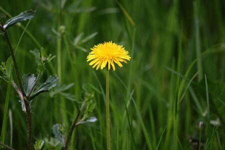 Dandelion on a meadow Stock Photo
