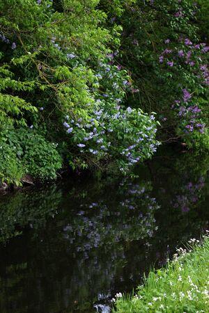 Pink Lilac at a river