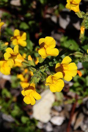 Marsh marigolds in summer