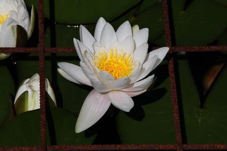 A white water lily in summer Stock Photo