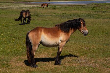 A wild horse on Hiddensee