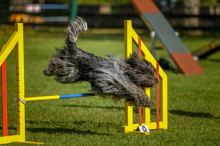hurdle: Dog jumps over hurdle