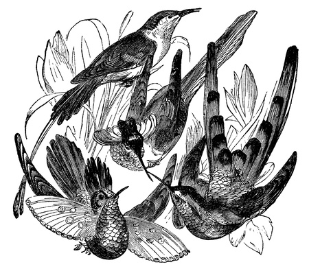 engraved image: An engraved illustration of a variety of bird isolated against white. Created in 1887. Stock Photo