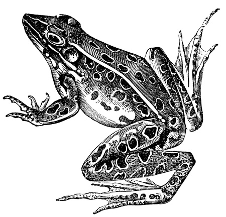 лягушка: Винтаж гравированные иллюстрации из воды лягушку изолированы на белом