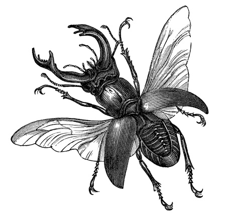 pinchers: A vintage engraved illustration of a stag beetle  Stock Photo
