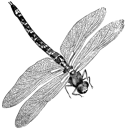 engraved image: Vintage engraved illustration of a dragonfly, isolated against white