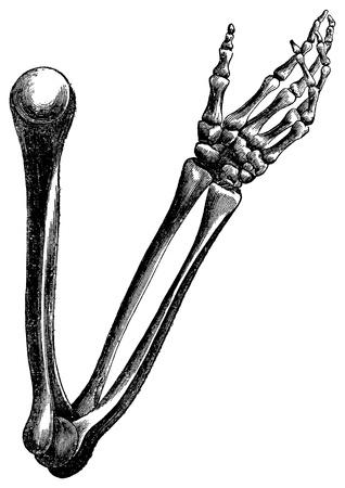 codo: Una antigua ilustración grabada anatómica del brazo humano y huesos de la mano, creado en 1873