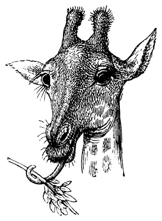 An antique engraved illustration of a giraffe, created in 1894  illustration