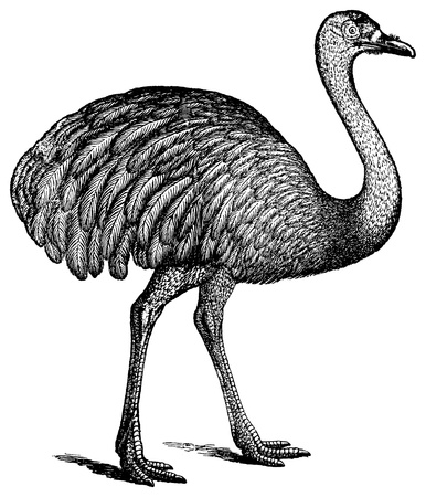 An antique engraved illustration of an ostrich, created in 1894