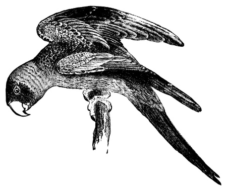 An antique engraved illustration of a parakeet, created in 1894