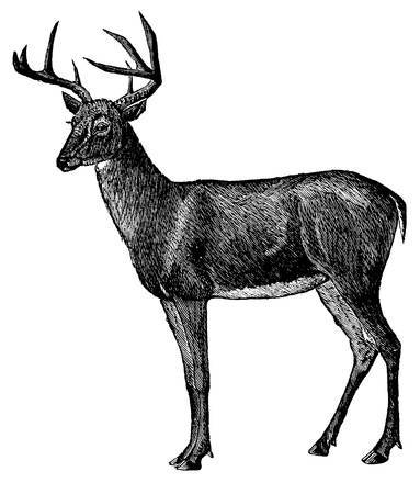 Vintage engraved illustration of a deer isolated against white  Created in 1894  Banco de Imagens