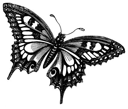 black and white line drawing: An antique engraved illustration of a butterfly, created in 1873