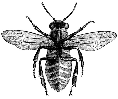 An antique engraved illustration of a bee from below, created in 1870  illustration