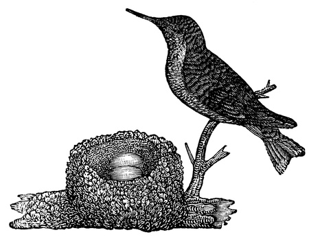 An antique engraved illustration of a hummingbird, created in 1873 illustration