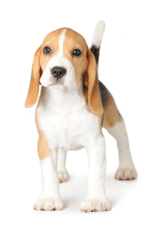 beagle terrier: Beagle on White Background
