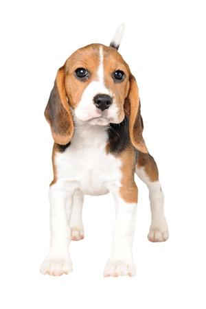 白い背景の上のビーグル犬 写真素材