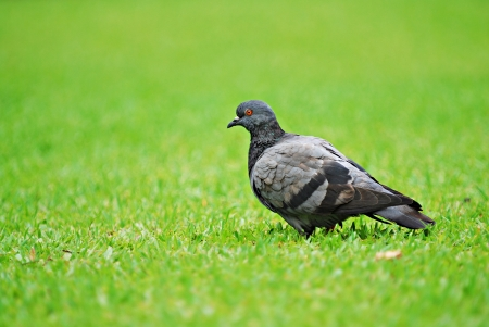 Pigeon Stock Photo - 14623818