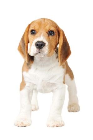 perro triste: Beagle en el fondo blanco