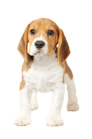 beagle puppy: Beagle on White Background