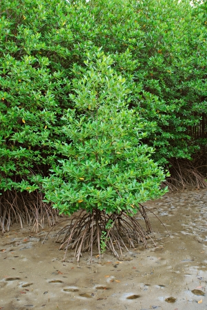 Mangrove forest Stock Photo - 14623823