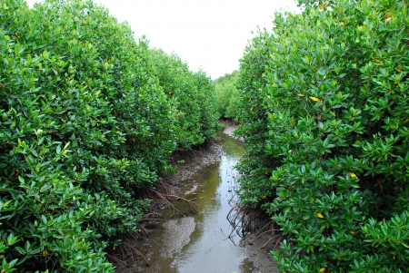Mangrove forest photo