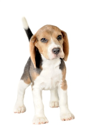 Beagle op witte achtergrond Stockfoto
