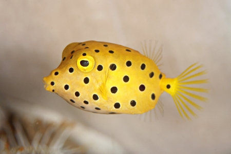 black spot boxfish Stock Photo - 15305193