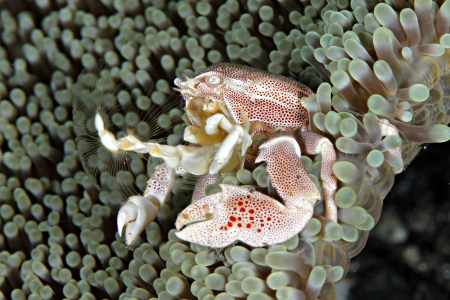 Anemone Porcelain Crab Stock Photo - 15305197