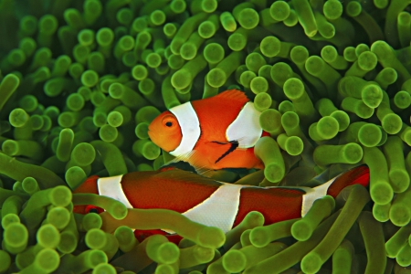 clown fish amphiprion: Anemone and Nemo