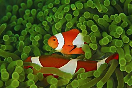 pez payaso: Anemone y Nemo Foto de archivo