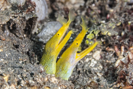 closeup Two Yellow Ribbon eel Stock Photo - 15305204
